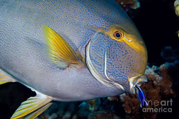 Hawaiian Fish Photograph - Wrasse Cleaning Surgeonfish by David Fleetham