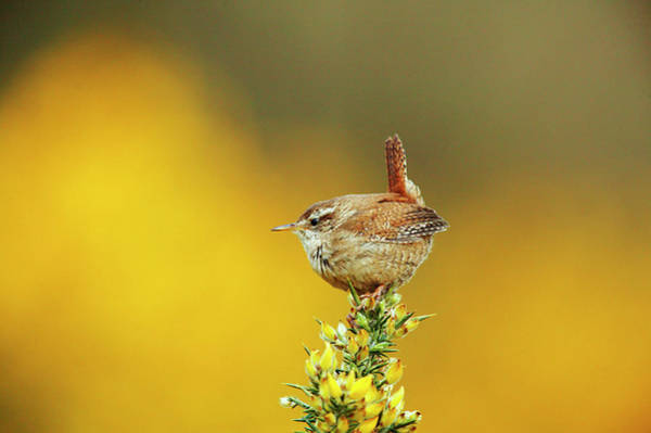 Wren Photograph - Wren by Andy Harmer/science Photo Library