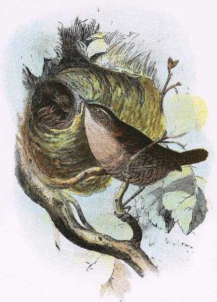 Ornithology Photograph - Wren by English School