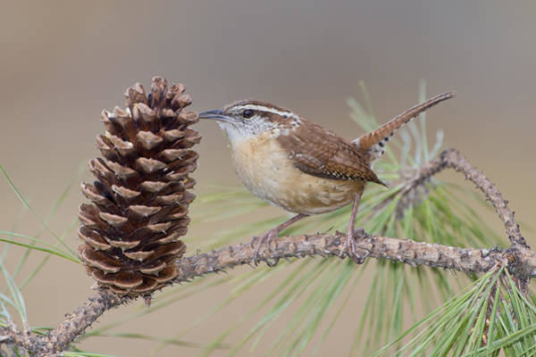 Perky Photograph - Wren In Pine Tree by Bonnie Barry