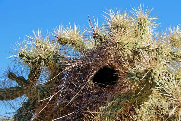 Cylindropuntia Bigelovii Photograph - Wrens Nest In Teddy Bear Cholla by Jemmy Archer