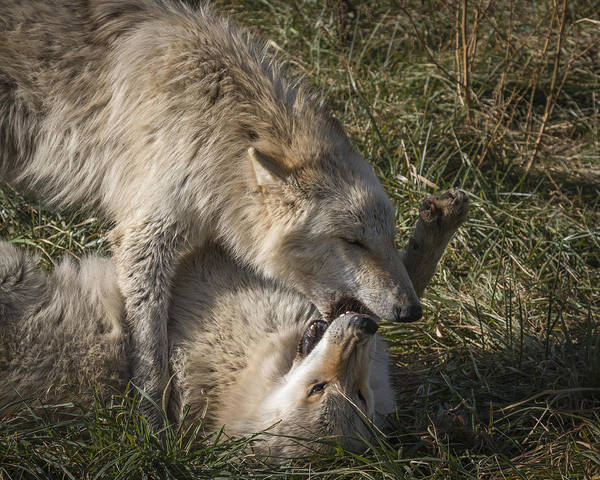 Photograph - Wrestle Time by Jack R Perry