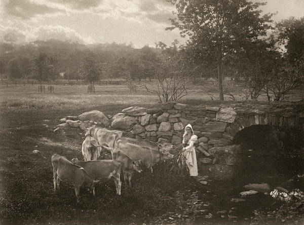 Wall Art - Photograph - Wright Cattle, C1900 by Granger
