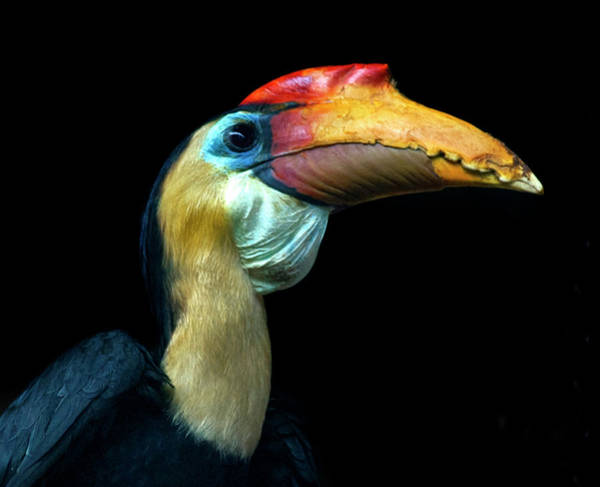 Hornbill Photograph - Wrinled Hornbill by Photo By Steve Wilson