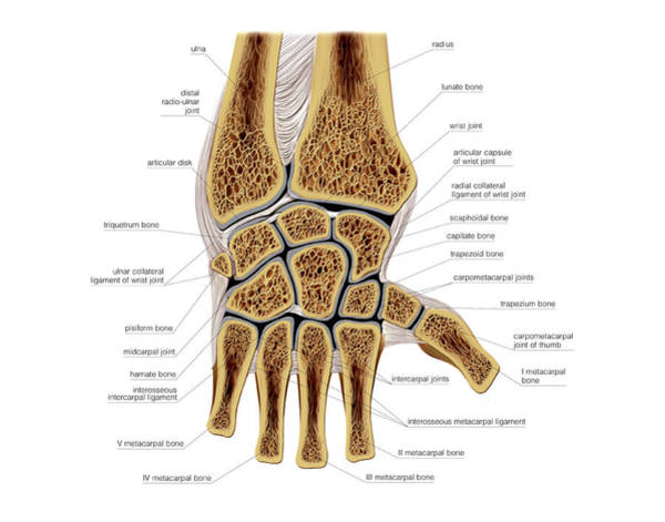 Hand Anatomy Wall Art - Photograph - Wrist Joints by Asklepios Medical Atlas