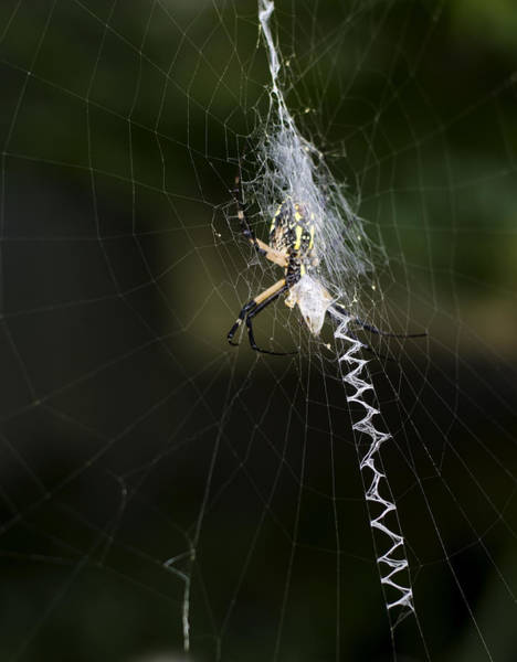 Photograph - Writing Spider by Heather Applegate
