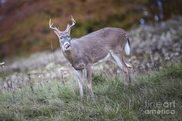 Photograph - Wv Buck by Ronald Lutz