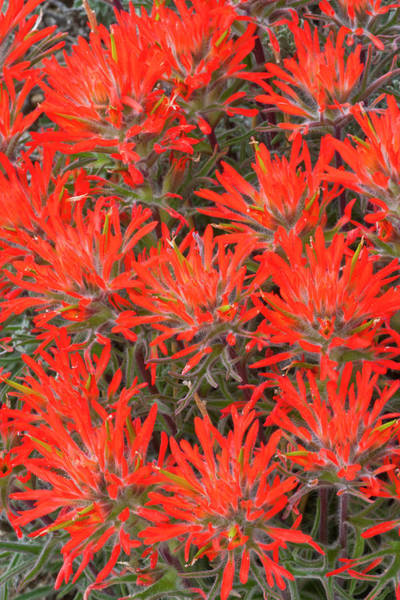 Desert Paintbrush Photograph - Wyoming, Lincoln County, Desert by Elizabeth Boehm