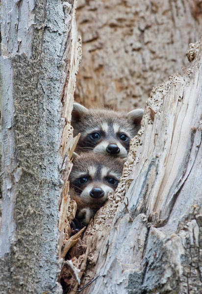 Raccoons Photograph - Wyoming, Lincoln County, Raccoon Young by Elizabeth Boehm