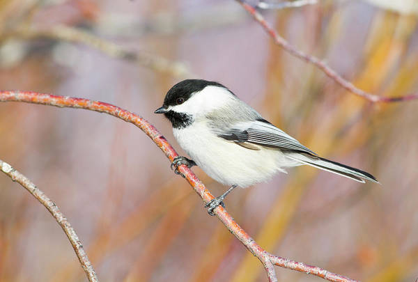 Chickadees Photograph - Wyoming, Sublette County, Black-capped by Elizabeth Boehm