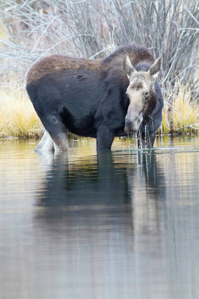 Alces Alces Photograph - Wyoming, Sublette County, Cow Moose by Elizabeth Boehm