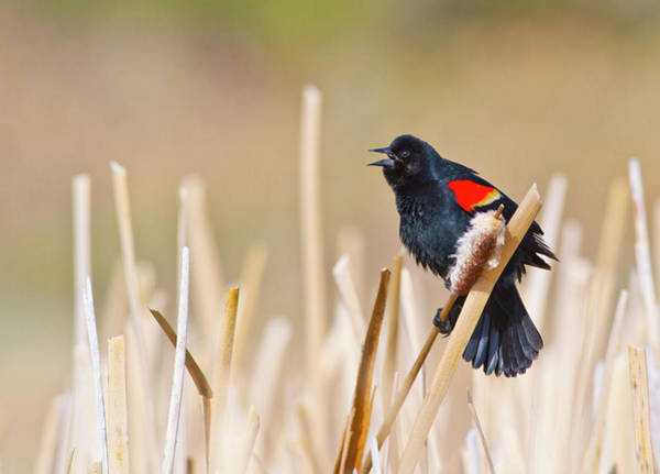 Red-winged Blackbird Wall Art - Photograph - Wyoming, Sublette County, Male by Elizabeth Boehm