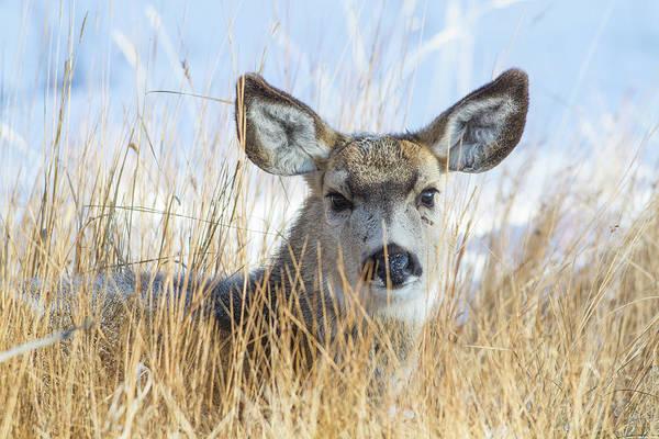 Mule Deer Photograph - Wyoming, Sublette County, Mule Deer Doe by Elizabeth Boehm