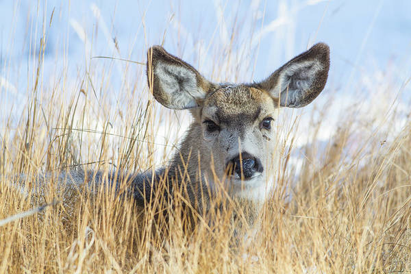 Doe Photograph - Wyoming, Sublette County, Mule Deer Doe by Elizabeth Boehm