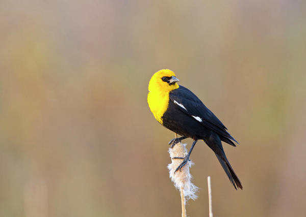 Courtship Photograph - Wyoming, Sublette County, Yellow-headed by Elizabeth Boehm