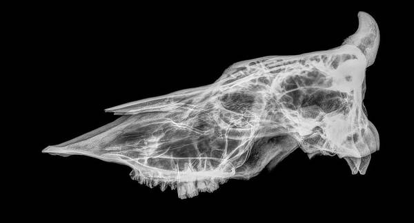 Bovine Photograph - X-ray Of A Skull Of A Cow by Photostock-israel/science Photo Library