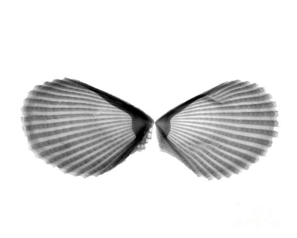 X Wing Photograph - X-ray Of Angel Wing Shells by Bert Myers