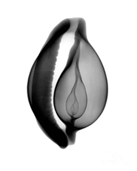 Photograph - X-ray Of Cowrie Shell by Bert Myers