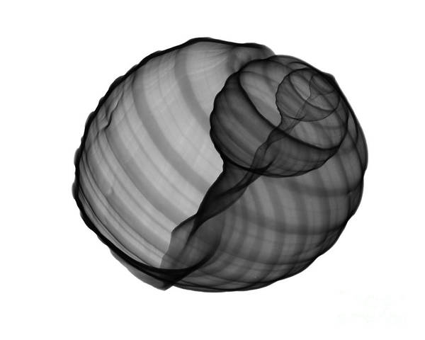 Radiograph Wall Art - Photograph - X-ray Of Tun Shell by Bert Myers