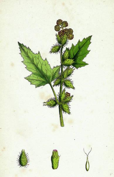 Wall Art - Drawing - Xanthium Strumarium Common Bur-marygold by English School