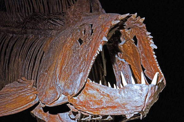 Wall Art - Photograph - Xiphactinus Fish by Millard H. Sharp