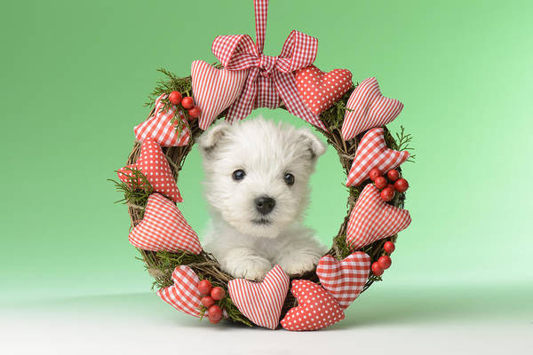 Westie Photograph - Xmas Reef Puppy by MGL Meiklejohn Graphics Licensing
