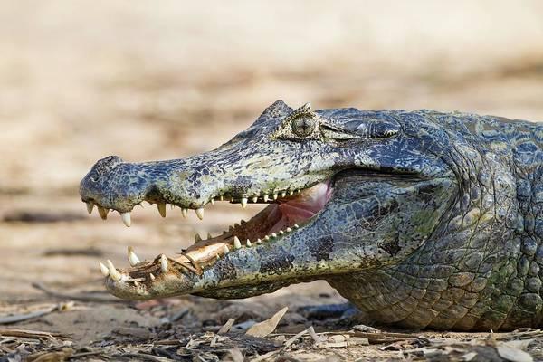 American Crocodile Photograph - Yacare Caiman Basking In The Sun by John Devries/science Photo Library