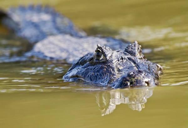American Crocodile Photograph - Yacare Caiman Swimming by John Devries/science Photo Library
