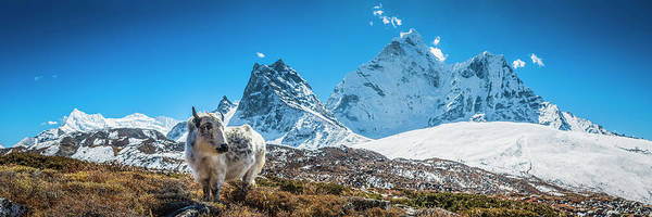 Yak Calf Grazing In High Altitude Art Print by Fotovoyager
