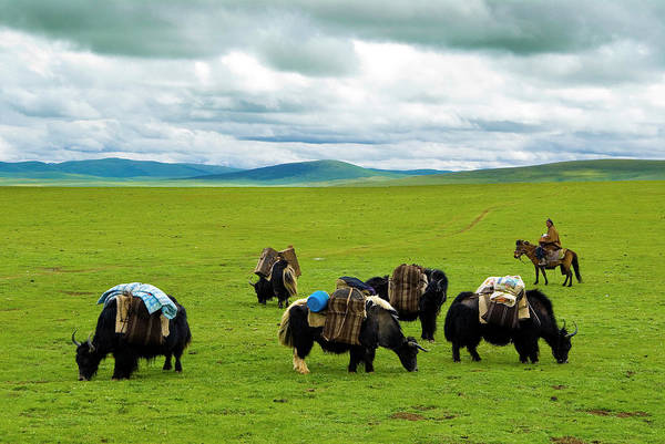 Herd Of Horses Wall Art - Photograph - Yaks And Shepherd by Aldo Pavan