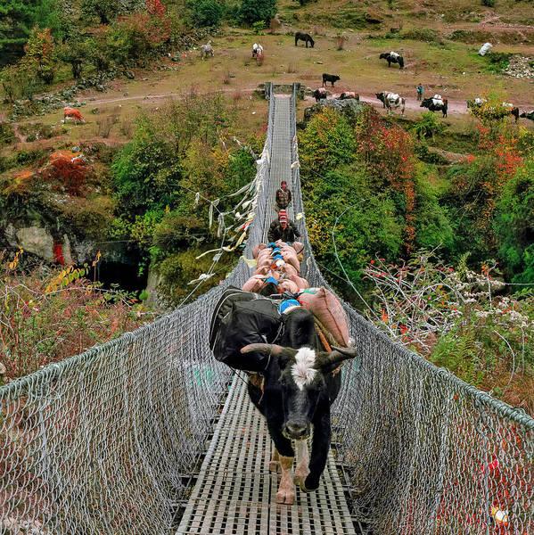 Himalaya Wall Art - Photograph - Yaks On Rope Bridge by Babak Tafreshi