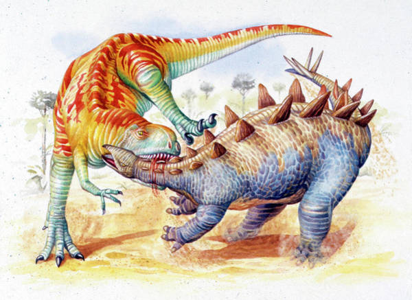 Paleozoology Wall Art - Photograph - Yangchuanosaurus Attacking Stegosaur by Deagostini/uig