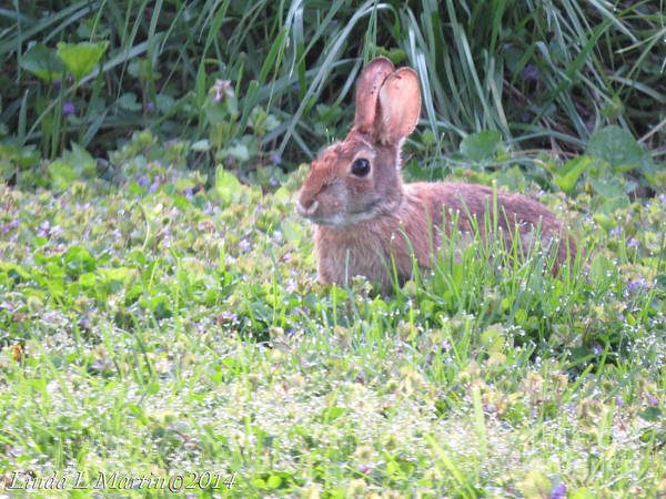 Photograph - Yard Bunny 1 by Linda L Martin