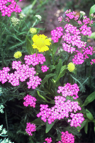 Cerise Photograph - Yarrow (achillea 'cerise Queen') by Adrian Thomas/science Photo Library