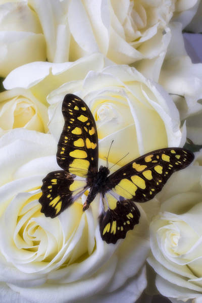 Yellow Rose Photograph - Yellow And Black Butterfly by Garry Gay