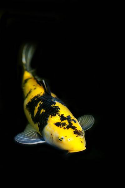 Koi Photograph - Yellow And Black Koi by Rebecca Cozart