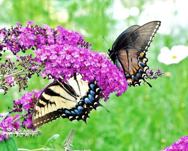 Photograph - Yellow And Black Swallowtail Butterflies by Kim Bemis