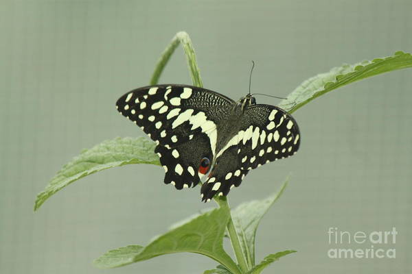Wall Art - Photograph - Yellow And Black Tropical Butterfly by Eric Irion
