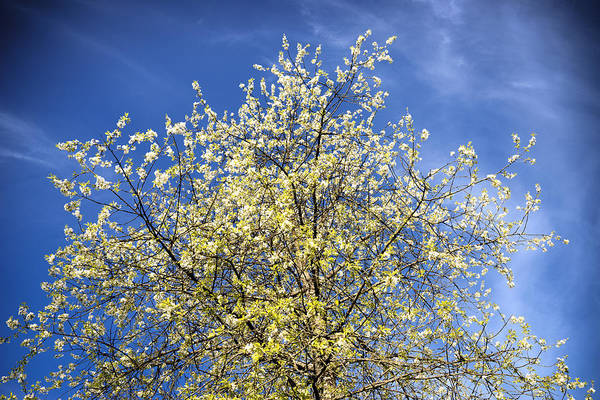 Photograph - Yellow And Blue - Blooming Tree In Spring by Matthias Hauser
