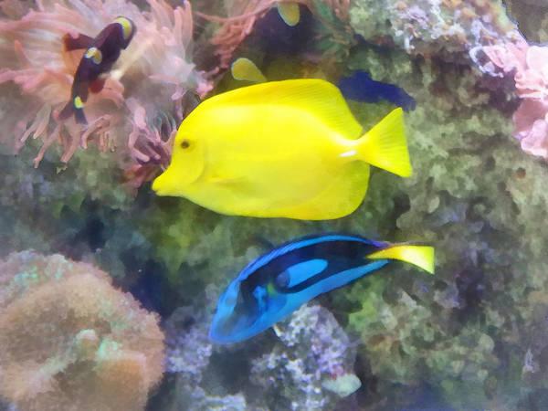 Photograph - Yellow And Blue Tang Fish by Susan Savad