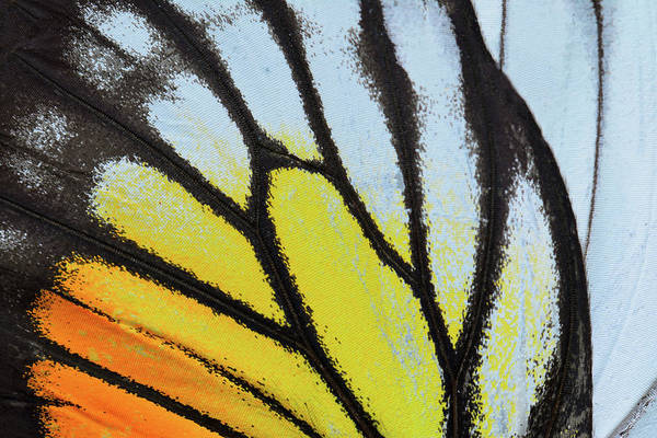 Photograph - Yellow And Orange Butterfly Wing by Panuruangjan