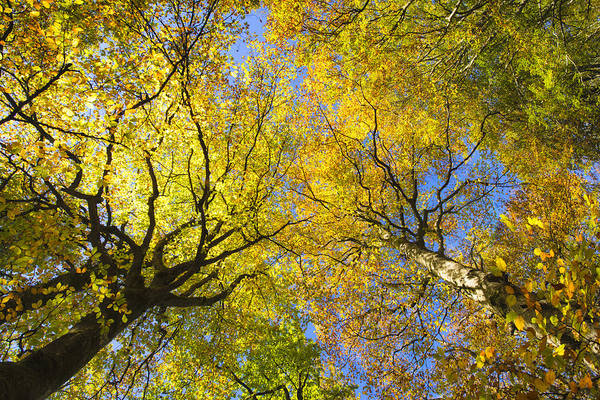 Photograph - Yellow And Orange Trees In Fall With Blue Sky by Matthias Hauser