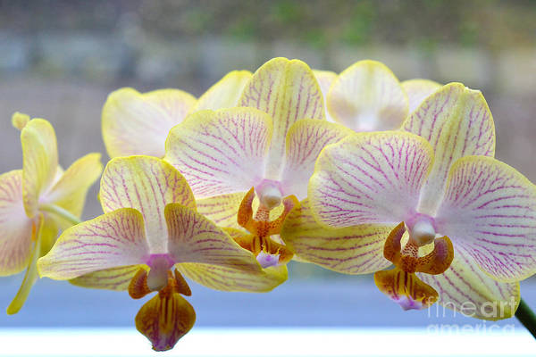 Photograph - Yellow And Pink Orchids by Tine Nordbred