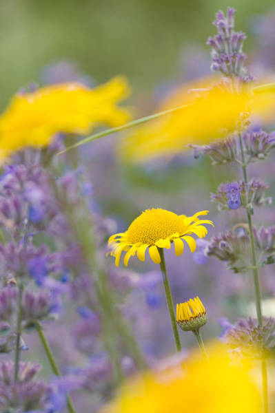 Photograph - Yellow And Purple Flowers On A Green Summer Meadow by Matthias Hauser