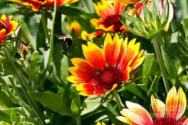 Yellow And Red Gaillardias And Bee Art Print