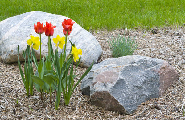 Yellow And Red Tulips With Two Rocks Art Print