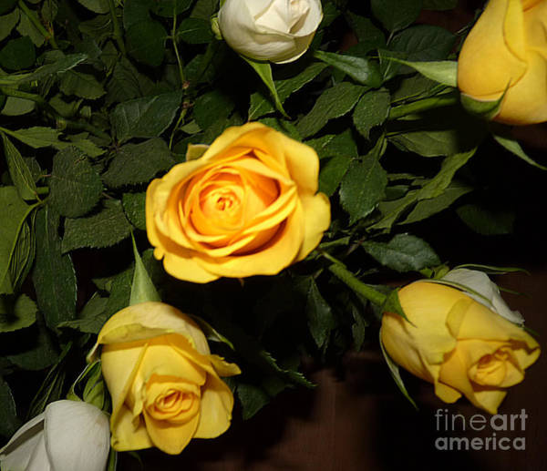 Photograph - Yellow And White Roses by Eva-Maria Di Bella