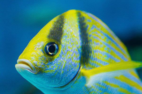 Photograph - Atlantic Porkfish by Gene Norris