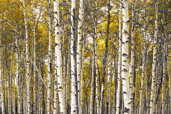 Photograph - Yellow Autumn Birch Trees by Randall Nyhof