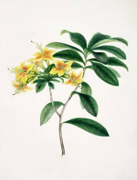 Wall Art - Photograph - Yellow Azalea by Natural History Museum, London/science Photo Library